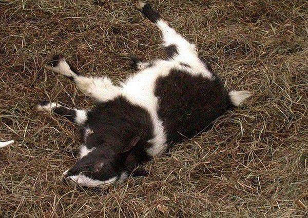 Обморочные козы — фото и видео, описание