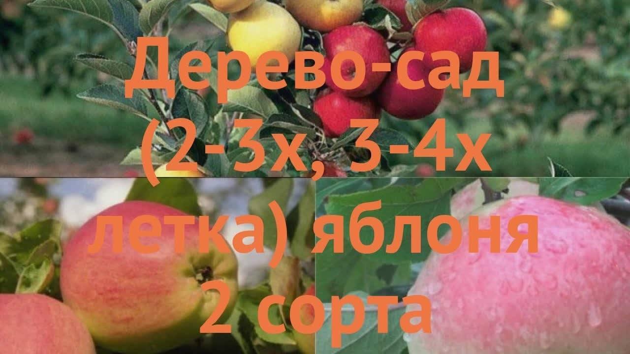 """Яблоня """"кандиль орловский"""": описание сорта, фото, отзывы"""