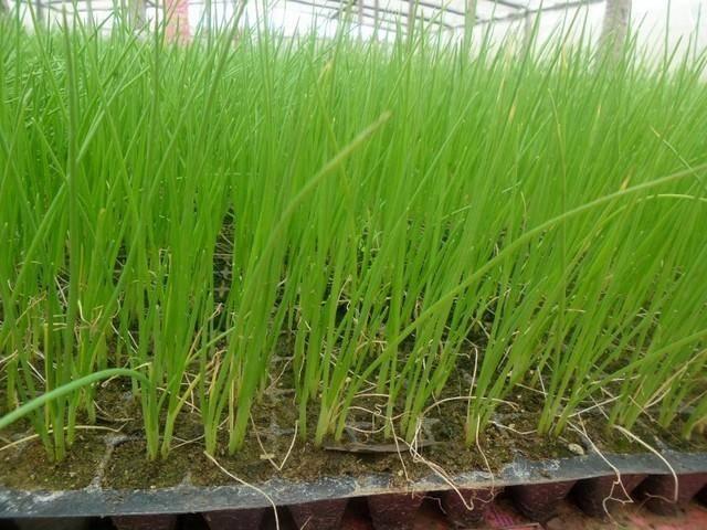Как вырастить лук из чернушки за один сезон