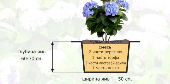 Пересадка гортензии осенью на другое место: сроки и особенности работы - handskill.ru