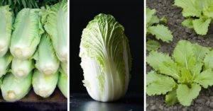 Как вырастить пекинскую капусту на огороде в открытом грунте и в домашних условиях
