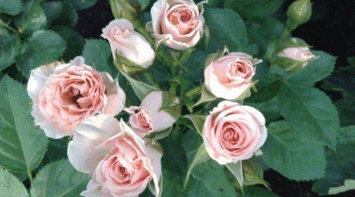 Плетистые розы: описание 20 сортов, посадка, уход   75 фото
