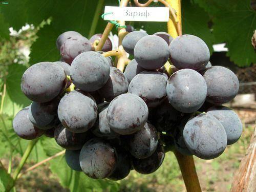 Виноград калашниковых в поселке кинельском