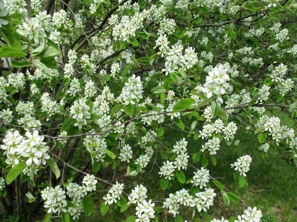 Ирга: размножение, посадка и уход в открытом грунте