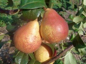Самые зимостойкие сорта груш: 9 устойчивых деревьев для выращивания в северных регионах