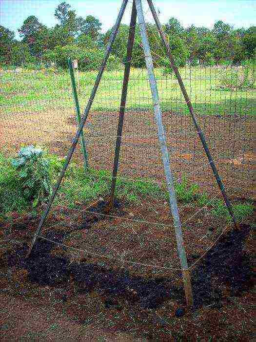 Стручковая фасоль: как вырастить, сроки и схема посадки