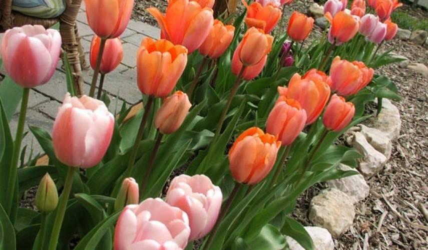 Почему не цветут тюльпаны (не распустились): одни листья и пустоцветы
