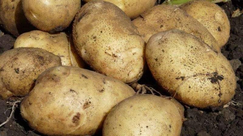 Картофель агата описание сорта фото отзывы - скороспел