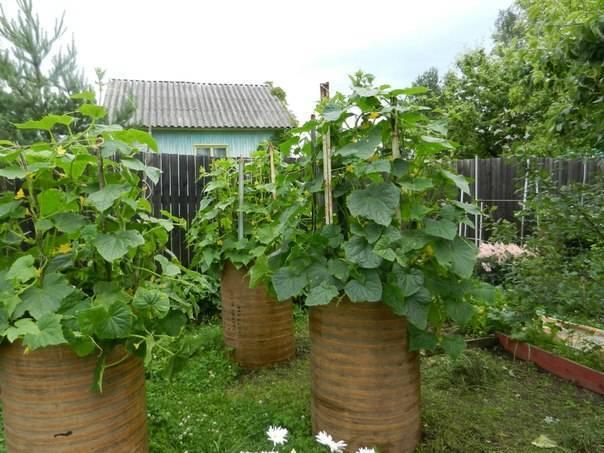 Посадка и выращивание огурцов в бочках: тонкости ухода - пошагово с фото