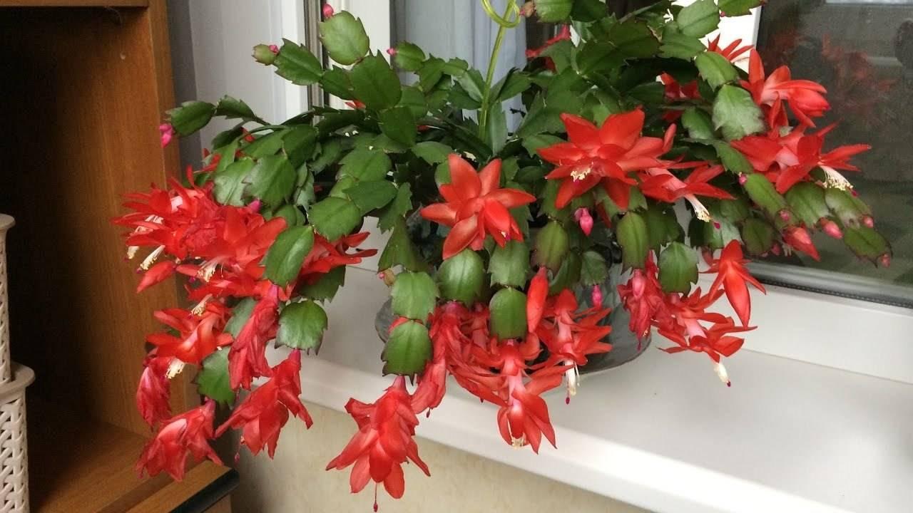 Цветок декабрист – как заставить цвести?