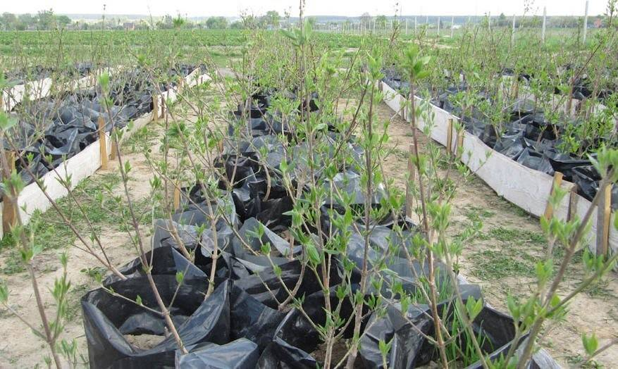 Выращивание кизила в подмосковье, особенности посадки и ухода, а также сорта для данного региона