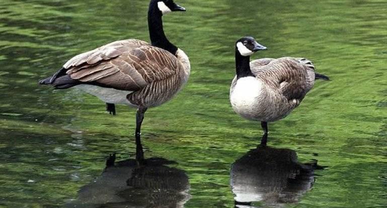 Рейнские гуси: описание породы, особенности разведения в домашних условиях