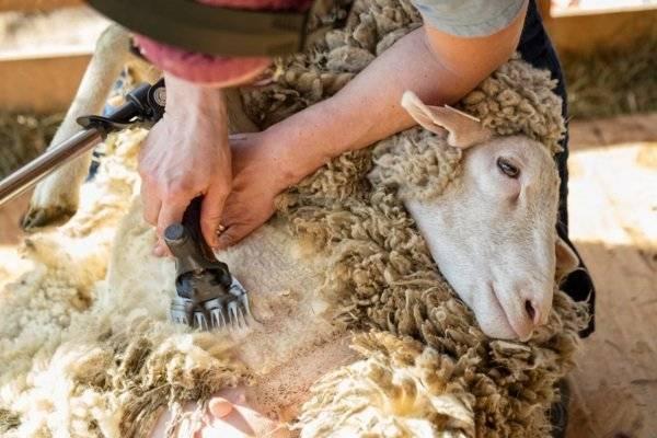 Стрижка овец машинкой видео для начинающих: как часто и когда стрич, фото