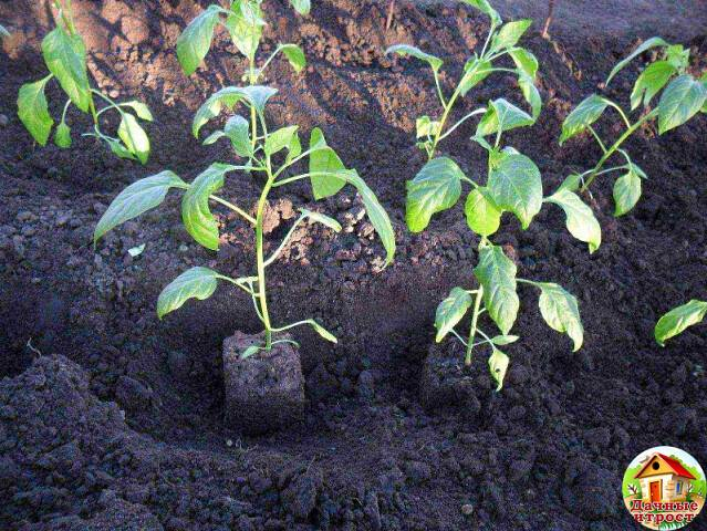Подкормка перцев – в открытом грунте, в теплице, во время цветения, народные средства, удобрения