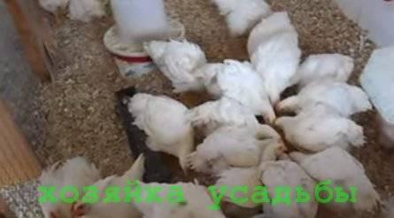 Чем и как кормить цыплят с первых дней жизни: рекомендации и фотообзор