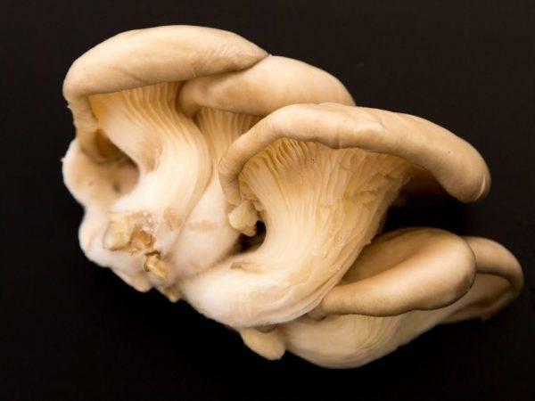 Как правильно чистить свежие грибы вешенки: лучший метод