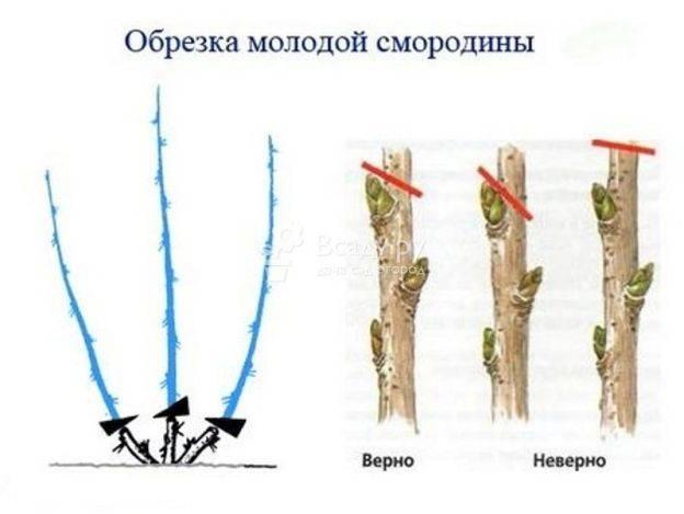 Обрезка смородины осенью: как обрезать смородину правильно, схемы и пошаговые фото процесса, можно ли делать это весной, в каком месяце лучше проводить