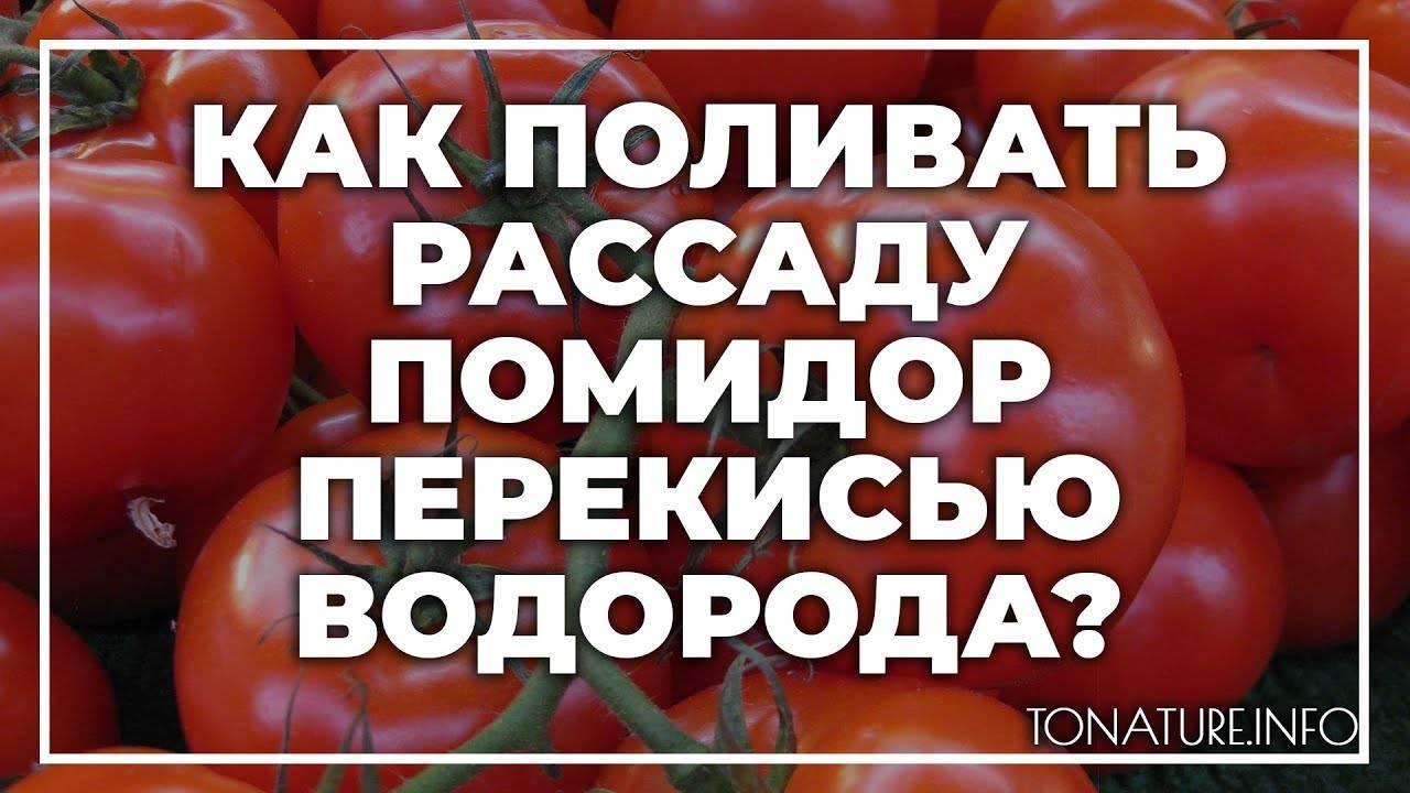 Как поливать рассаду помидоров - полив томатов, основные правила и сроки полива в домашних условиях на подоконнике   спутниковые технологии