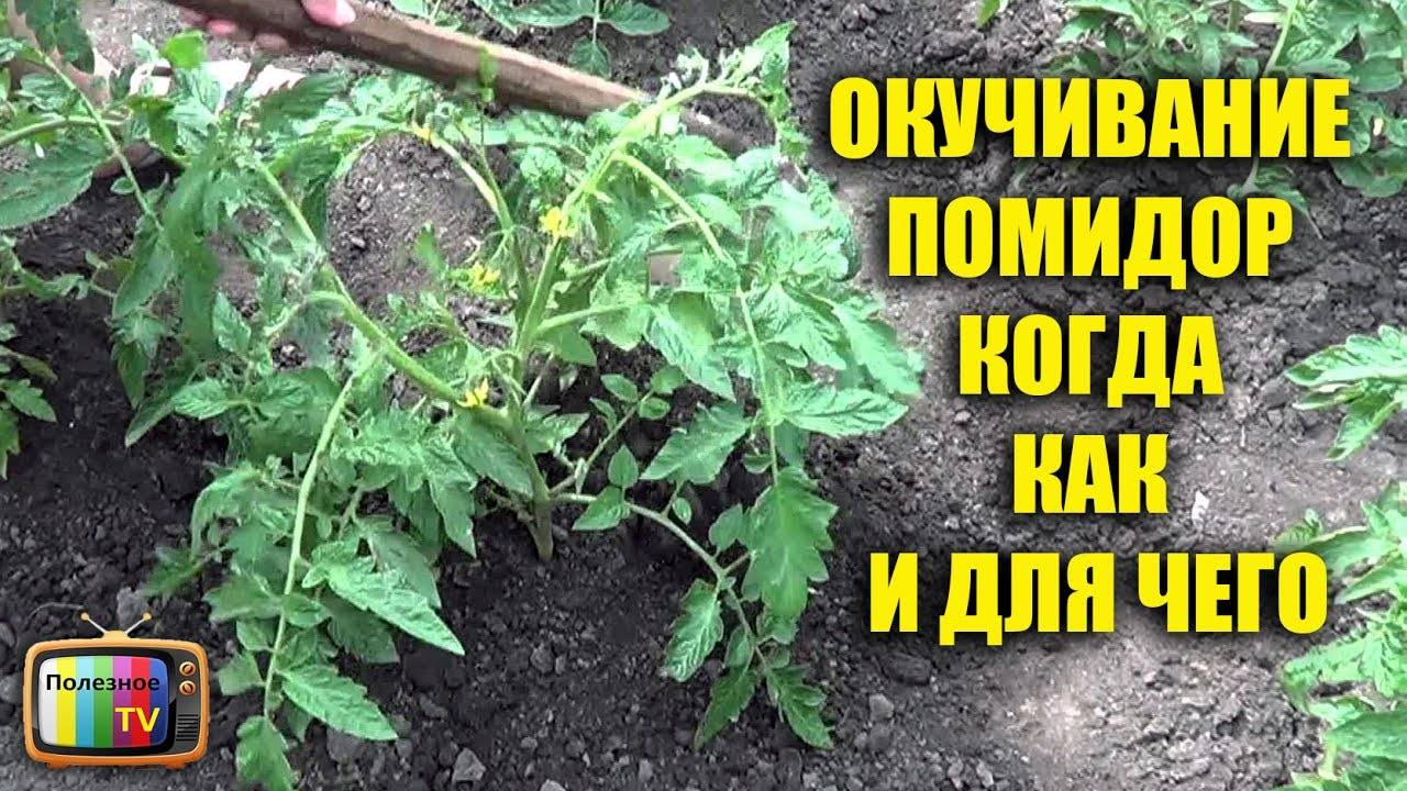 Нужно ли окучивать помидоры в условиях теплицы и открытого грунта?