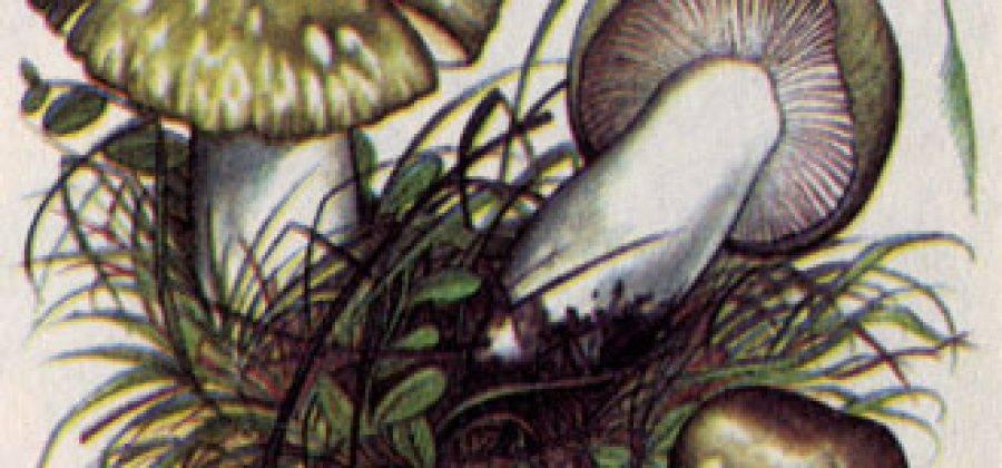 Гриб синяк (gyroporus cyanescens): информация, где растет, фото