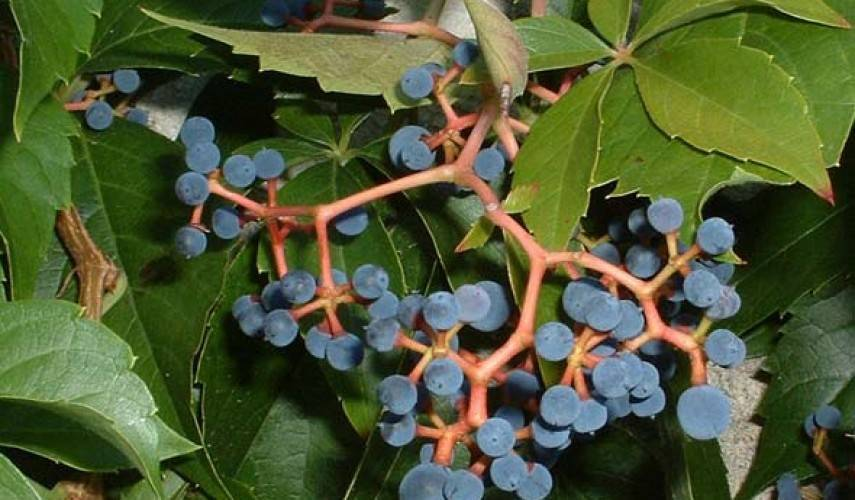 Девичий виноград — украшение ландшафтного дизайна: особенности выращивания в сибири