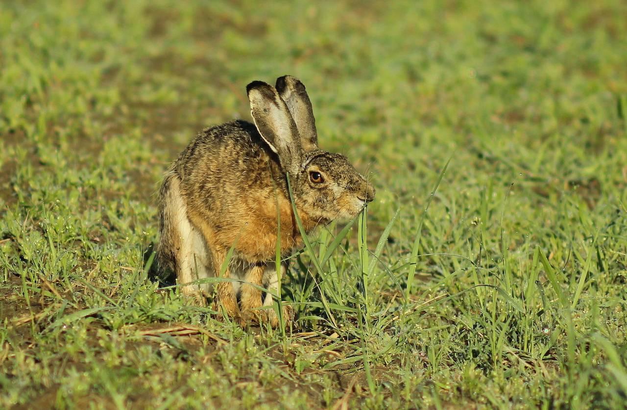 Заяц-русак: описание, образ жизни, поведение, ареал, места обитания