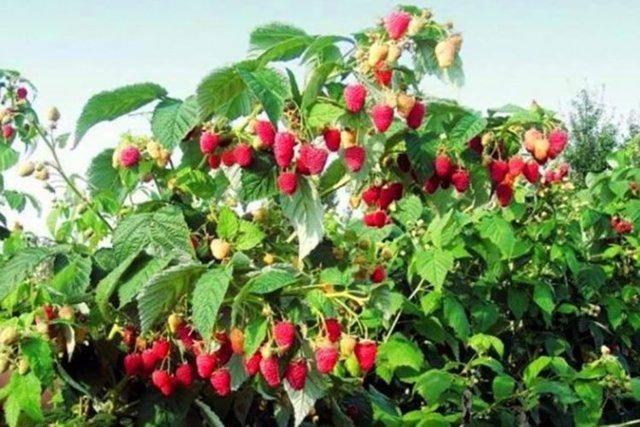 Самая вкусная малина – каталог отечественных и зарубежных сортов ягоды