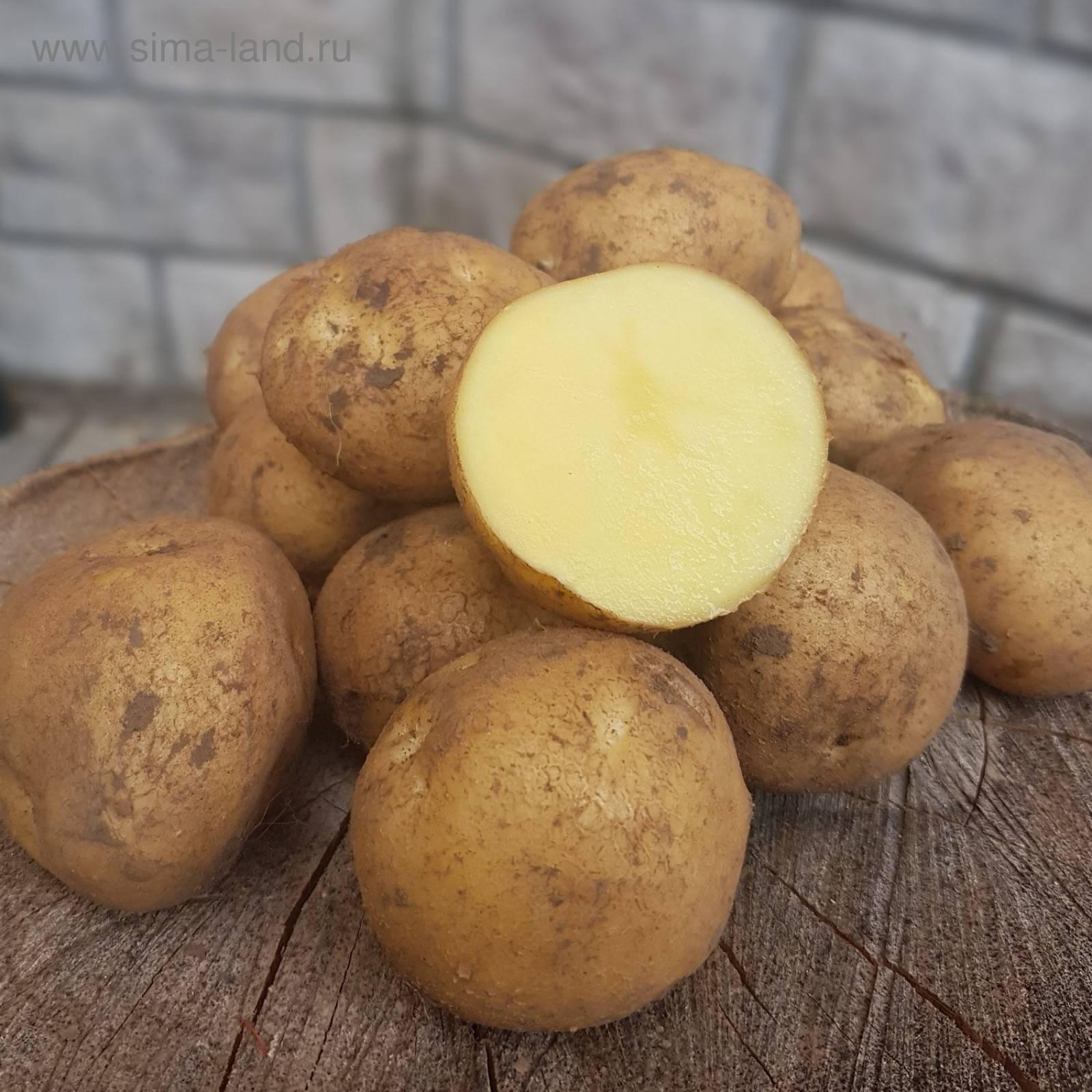 ᐉ сорт картофеля «метеор» – описание и фото - roza-zanoza.ru