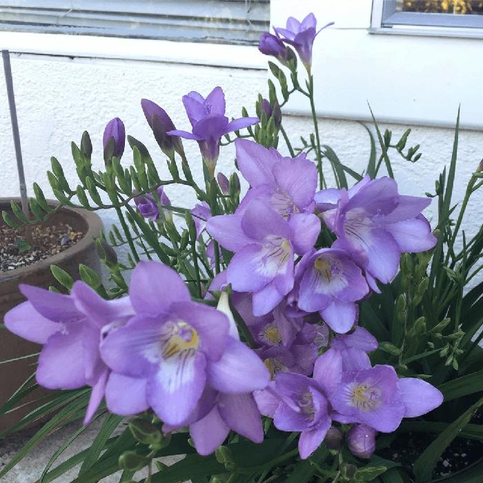 Фрезия махровая: описание,выращивание,уход,размножение,фото,видео. | растюнька
