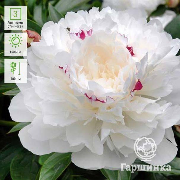Пион «фестива» (22 фото): описание пионов «максима» и «суприм», «паудер пуф», «пикси» и других разновидностей сорта