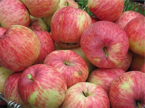 Про яблоню-китайку: большие возможности маленьких «райских» яблочек