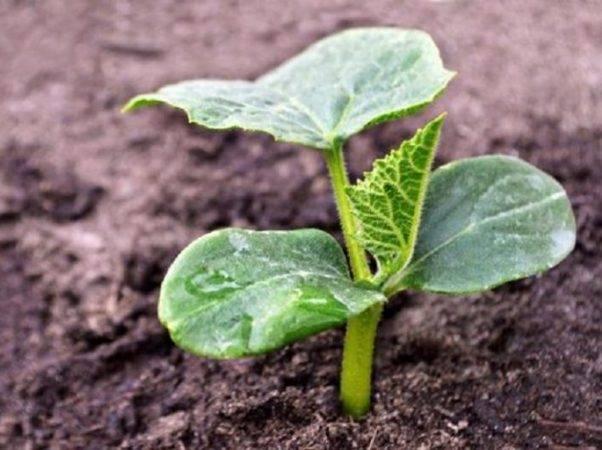 Технология выращивания огурцов в теплице и открытом грунте