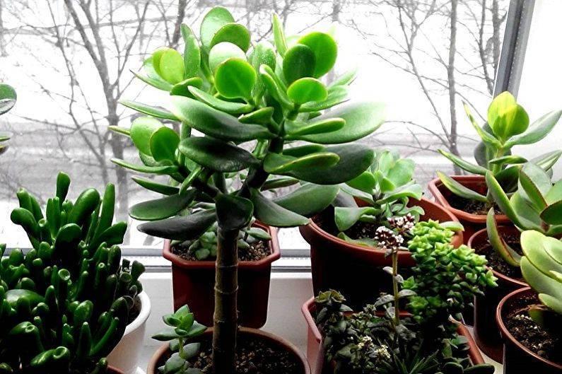 Денежное дерево (толстянка, крассула): как называется цветок по-научному, как выглядит, виды, фото, видео