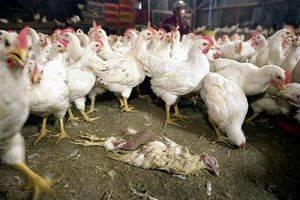 Птичий грипп: симптомы и лечение