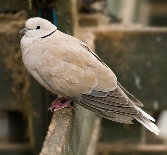 Болезни голубей: их симптомы, профилактика и лечение