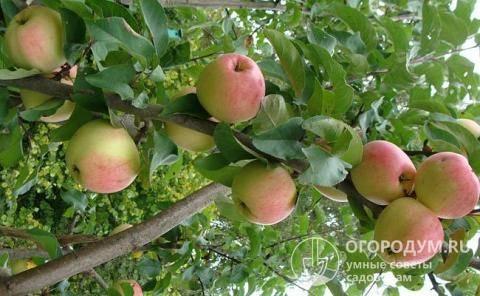 Кандиль орловский — описаени сорта яблок, отзывы с фото