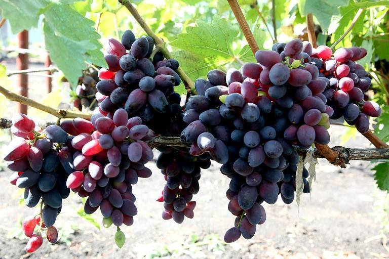 Виноград августин: описание, посадка и уход, видео и фото сорта