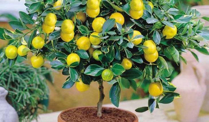 Как привить лимон в домашних условиях чтобы он плодоносил (+фото и видео материалы)
