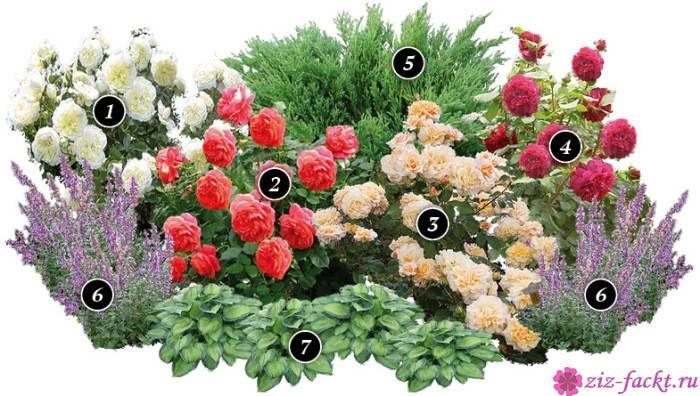 Розарий своими руками: советы профессионалов и схемы цветников