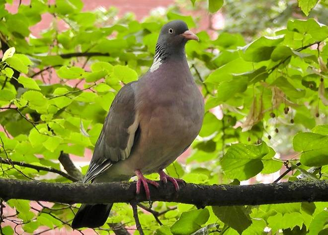 Голуби – фото, описание, виды, питание, размножение