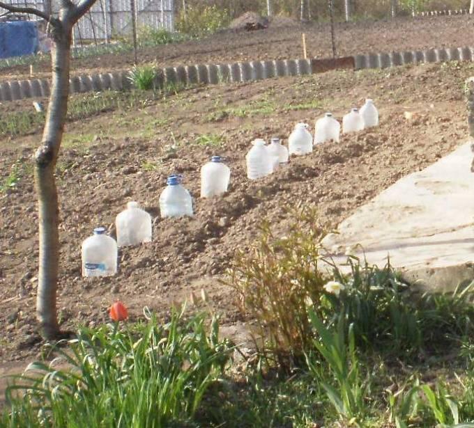 Как вырастить брюссельскую капусту в открытом грунте