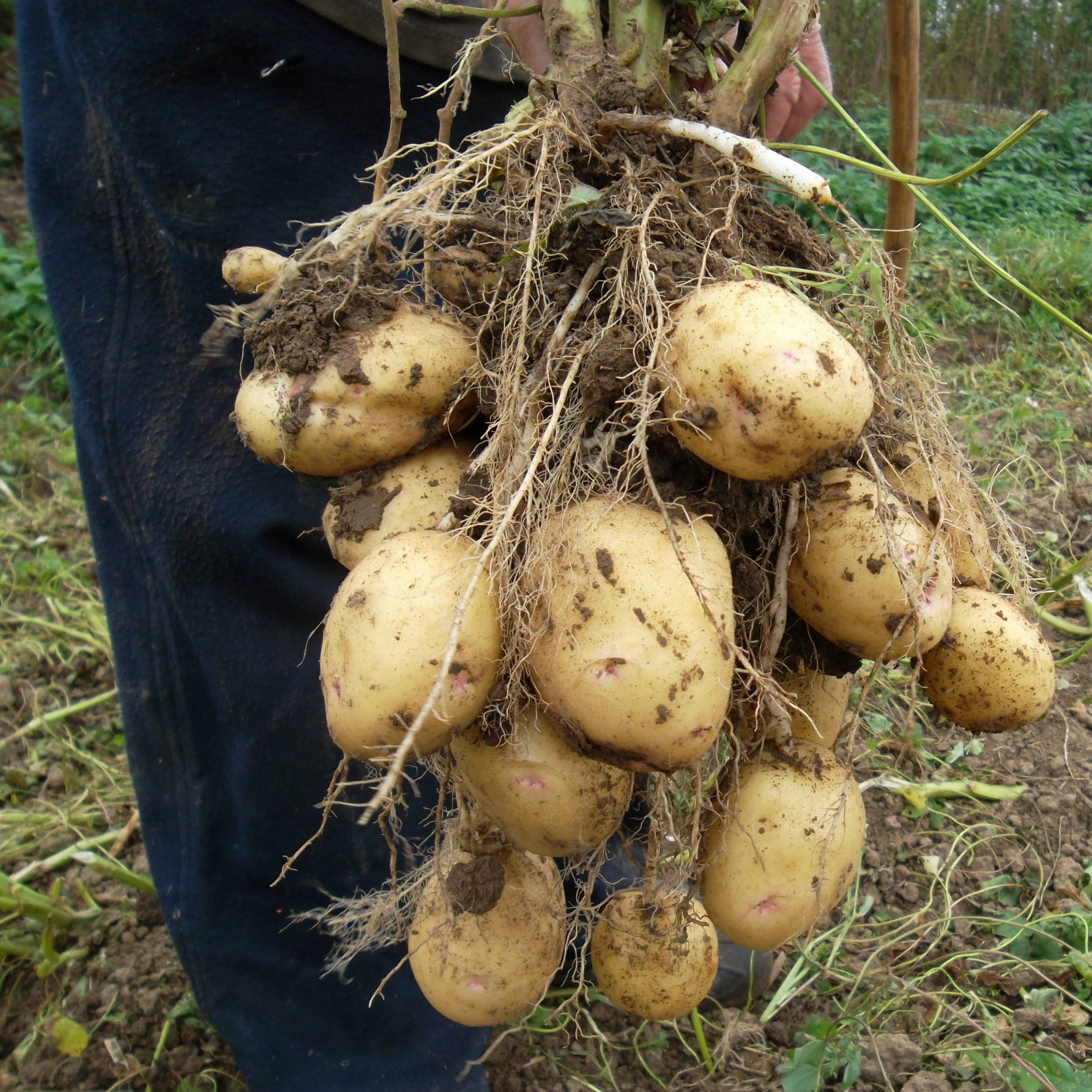 Как вырастить картофель из семян в домашних условиях