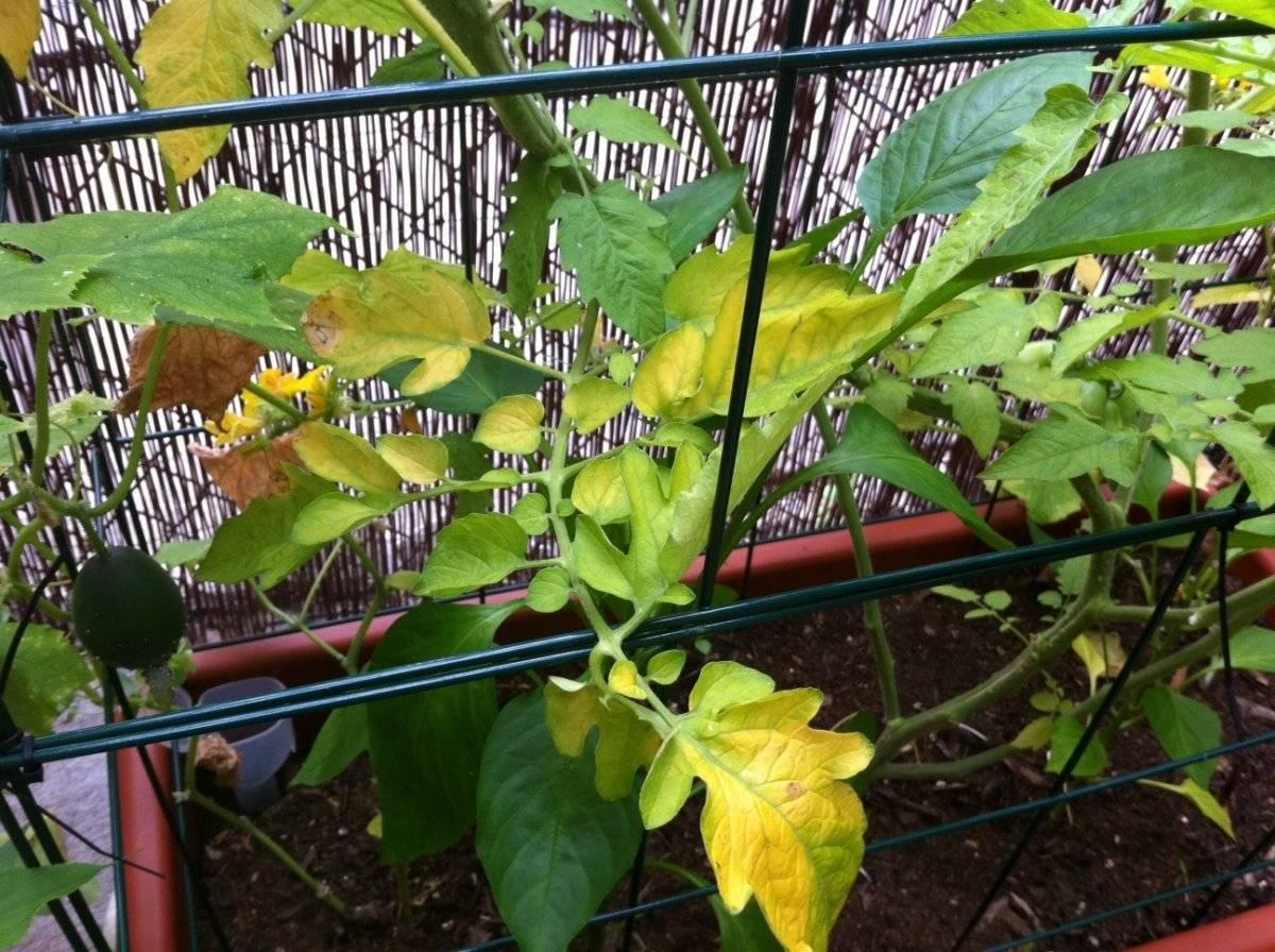 Сохнут листья у рассады помидоров — что делать?