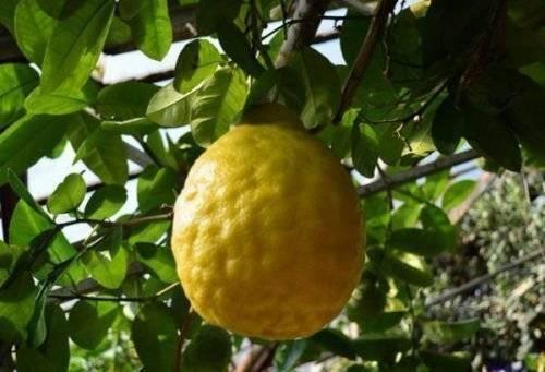 Лимон лунарио: описание сорта и уход в домашних условиях с фото