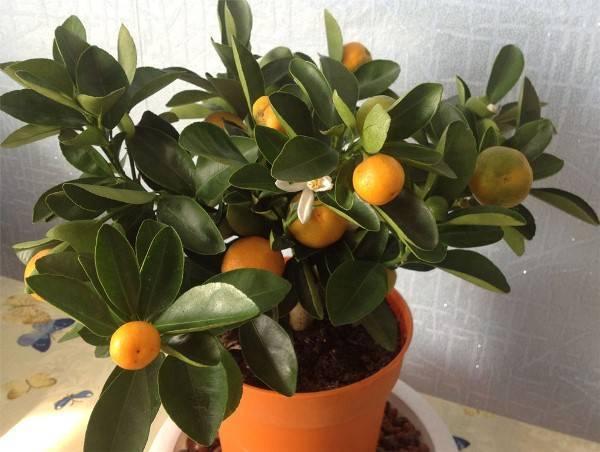 Как вырастить мандарин из косточки в домашних условиях? - sadovnikam.ru