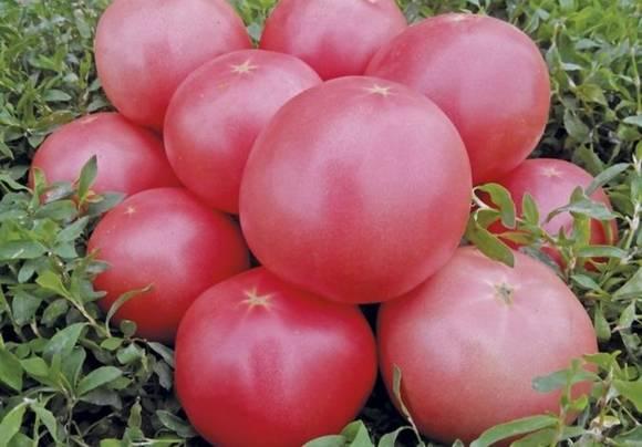 Томат под названием пинк парадайз f1: описание сорта, правила выращивания, отзывы, фото