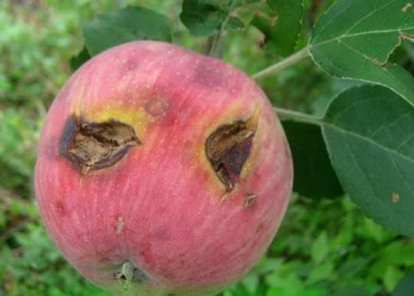 Сорт яблок заветное описание, фото, отзывы