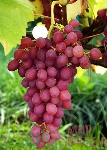 """Особенные черты винограда сорта """"кишмиш лучистый"""""""