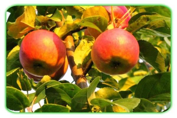 Яблоня сорта баяна: описание и характеристика, польза и калорийность, посадка и уход, фото