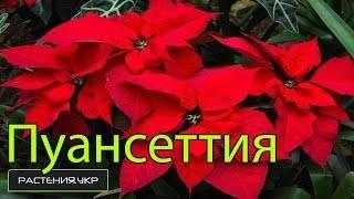 Цветок пуансетия: фото, описание, особенности выращивания в домашних условиях
